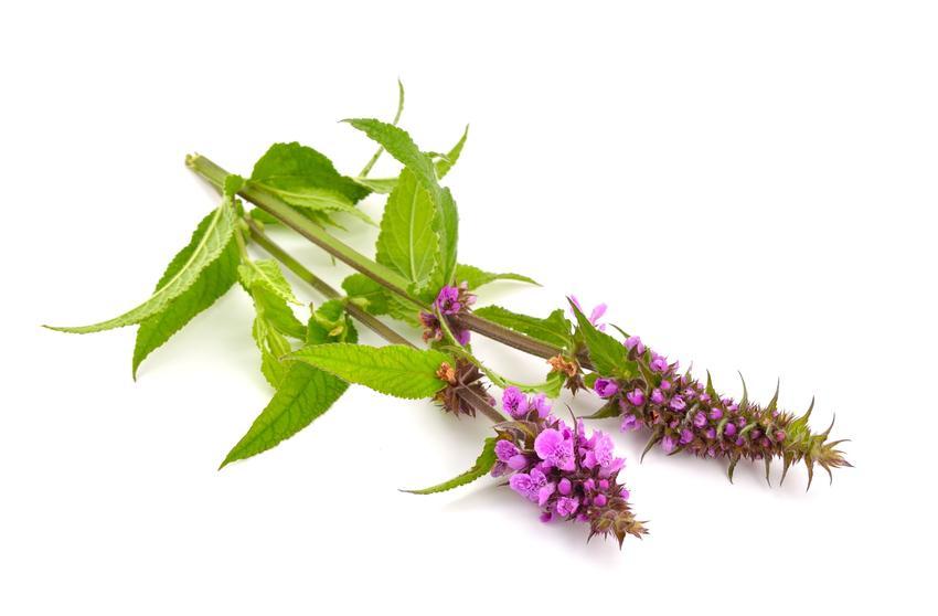 Roślina czyściec błotny na białym tle, a także jego uprawa i właściwości lecznicze