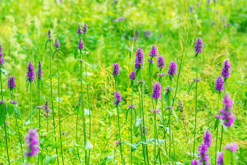 Roślina czyściec błotny w czasie kwitnienia, a także jego uprawa i właściwości lecznicze