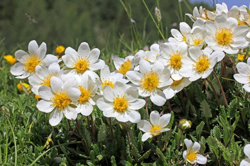 Kwiat dębik ośmiopłatkowy, Dryas octopetala w czasie kwitnienia oraz jego uprawa