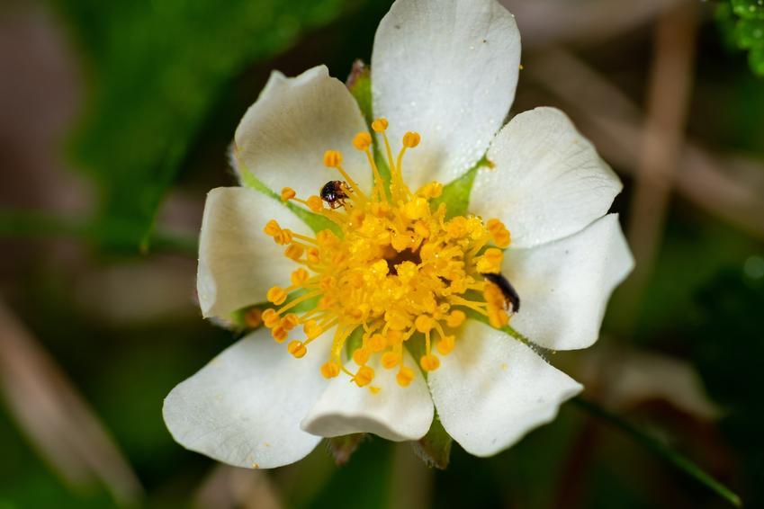 Dębik ośmiopłatkowy, Dryas octopetala i zbliżenie na jego kwiat, a także sadzenie i uprawa