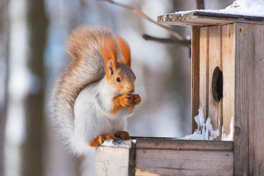 Wiewiórka przy karmniku, a także dokarmianie zwierząt zimą, zwierząt leśnych, dokarmianie ptaków