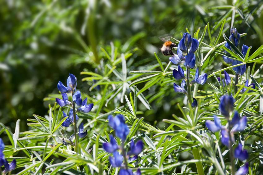 Roślina łubin słodki w ogrodzie, a także jego uprawa, gatunki i zastosowanie