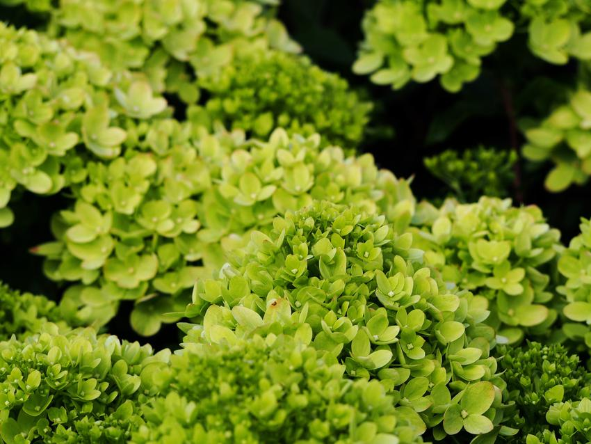Krzew hortensja little lime, hydrangea paniculata i zbliżenie na jej kwiaty, a także odmiany i uprawa