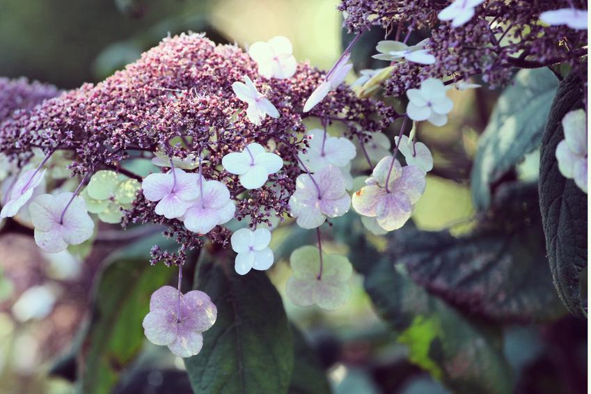 Krzew hortensja omszona, hortensja kosmata, hydrangea aspera, uprawa w czasie kwitnienia i jego uprawa w ogrodzie
