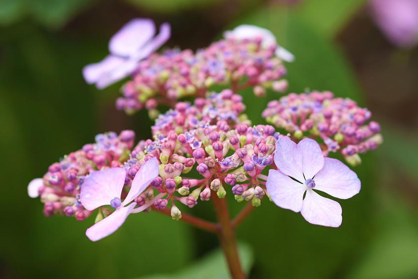 Krzew hortensja omszona, hortensja kosmata, hydrangea aspera oraz zbliżenie na jej kwiat