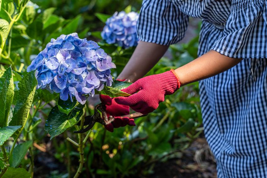 Kobieta podcinająca krzew hortensji, a także przesadzanie hortensji i rozsadzanie hortensji