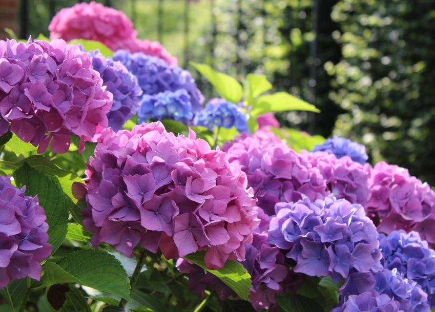 Hortensja w czasie kwitnienia w ogrodzie, a także przesadzanie hortensji i rozmnażanie krzewu