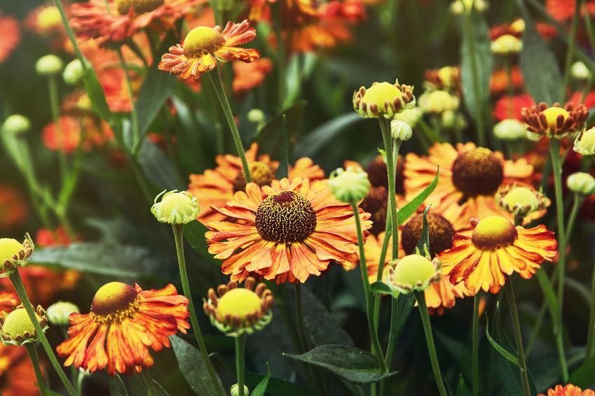 Kwiat dzielżan ogrodowy, Helenium hybridum w czasie kwitnienia, a także uprawa i odmiany
