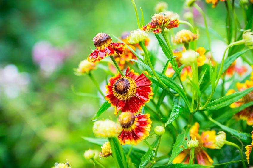 Dzielżan ogrodowy, Helenium hybridum i zbliżenie na jego kwiaty, a także rozmnażanie i uprawa