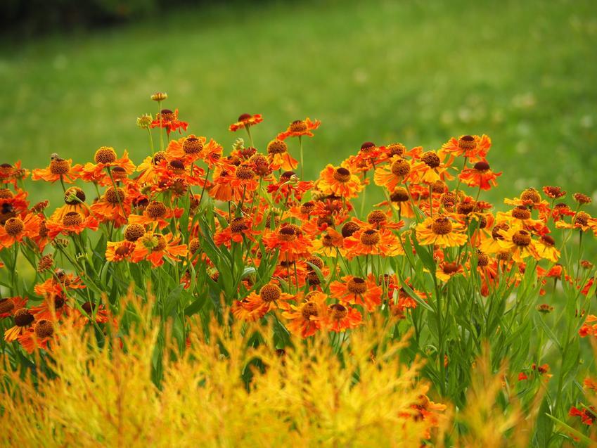Kwiaty dzielżan, Helenium hybridum w czasie kwitnienia w ogrodzie, a także rozmnażanie i uprawa