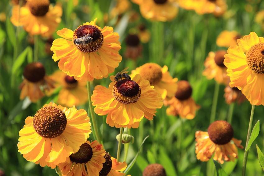Dzielżan, Helenium hybridum w czasie kwitnienia i zbliżenie na kwiaty oraz uprawa i pielęgnacja