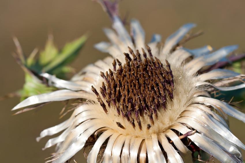 Kwiat dziewięćsił, Carlina w czasie kwitnienia, a także jego działanie i zastosowanie