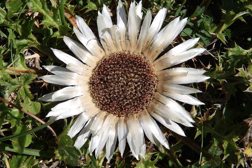 Dziewięćsił bezłodygowy, carlina acaulis i zbliżenie na kwiat, a także uprawa, działanie, zastosowanie