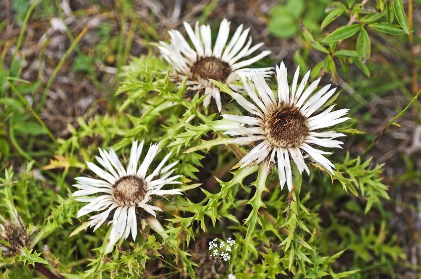 Kwiat dziewięćsił bezłodygowy, carlina acaulis w czasie kwitnienia, a także uprawa i działanie