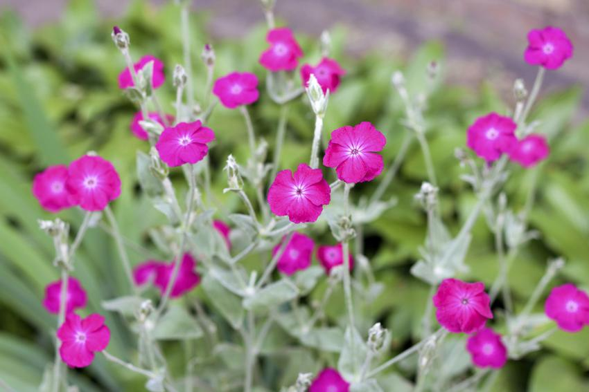 Kwiat firletka, Lychnis w czasie kwitnienia, a także firletka omszona, smółka, siemianówka, Jowisza