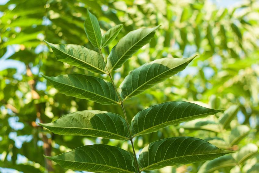 Bożodrzew gruczołkowatey, Ailanthus altissima i zbliżenie na jego liście, a także uprawa