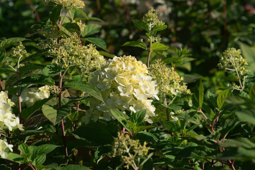 Hortensja candlelight, hydrangea paniculata w czasie kwitnienia candlelight, czyli hortensja bukietowa i jej uprawa