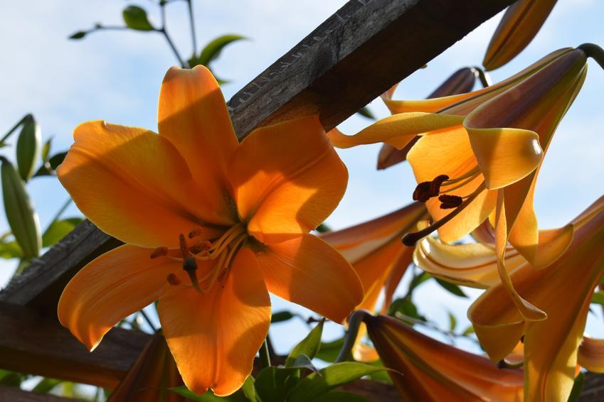 Pomarańczowe lilie kwitnące w ogrodzie, a także porady, jak i kiedy przesadzać lilie