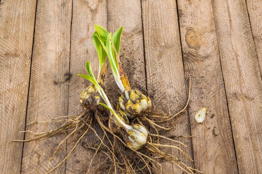 Cebulki lilii leżące na drewnianym tarasie, a także porady, jak i kiedy przesadzać lilie