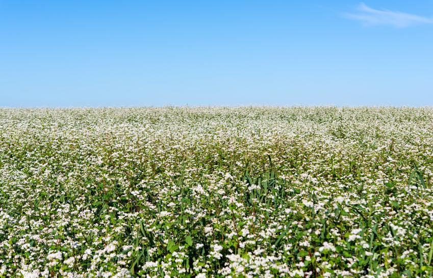 Gryka, Fagopyrum Mill. na polu na tle nieba, a także jej uprawa i zastosowanie