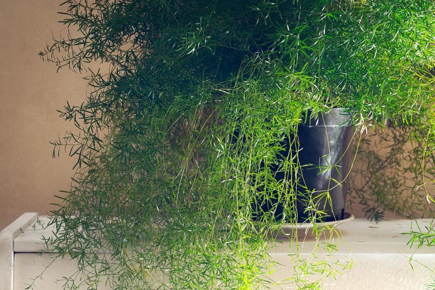 Kwiat doniczkowy ozdobny asparagus w domu, a także jego uprawa i pielęgnacja