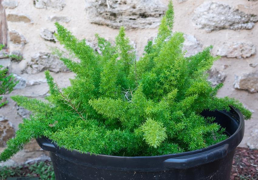 Kwiat ozdobny w doniczce asparagus, czyli uprawa, zastosowanie, pielęgnacja