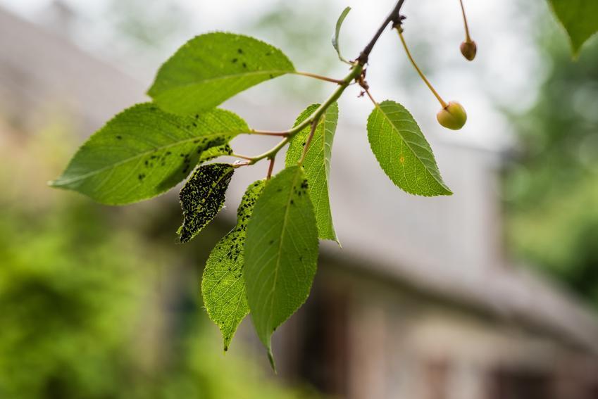 Mszyce na liściu w ogrodzie, a także ocet na mszyce i inne domowe sposoby