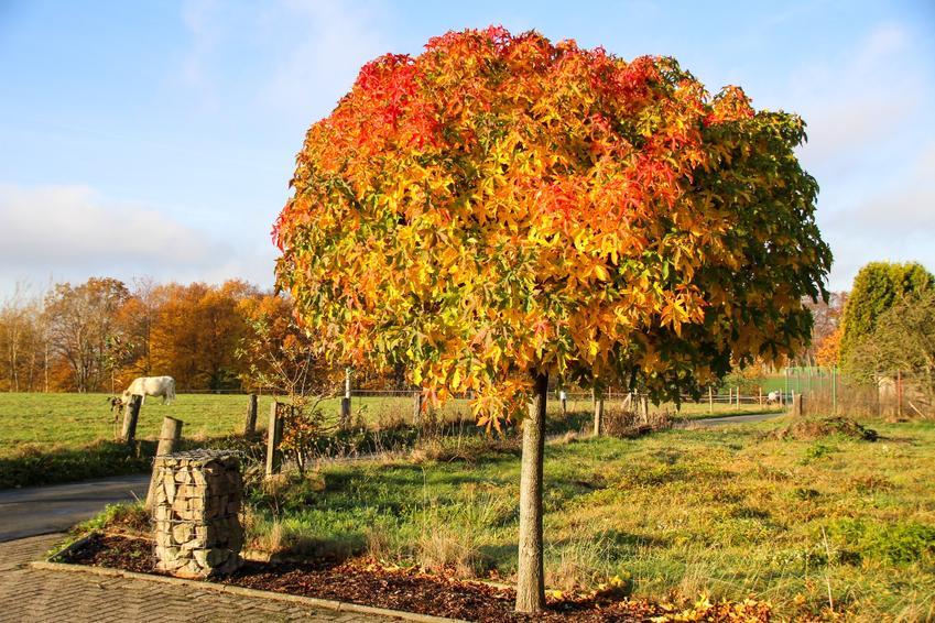 Drzewo ambrowiec amerykański, Liquidambar styraciflua na łonie natury i jego uprawa