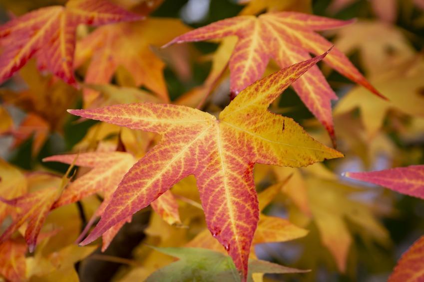 Drzewo ambrowiec amerykański, Liquidambar styraciflua i zbliżenie na liście oraz jego uprawa
