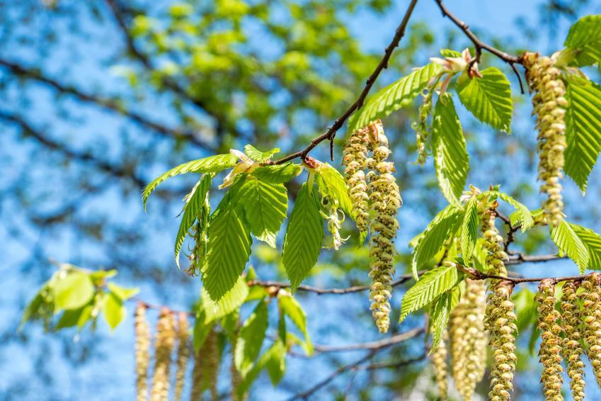 Brzoza w czasie pylenia na tle nieba, a także pylenie brzozy, kiedy pyli brzoza, stężenie pyłków a alergia