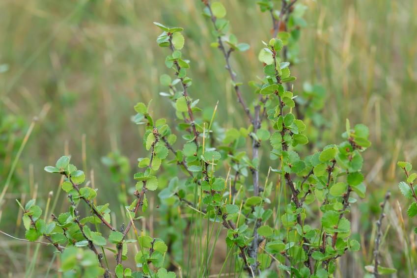 Brzoza karłowata, Betula nana na tle zieleni oraz jego uprawa i pielęgnacja