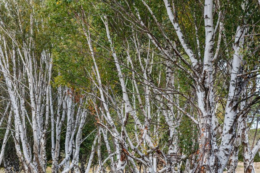 Brzoza omszona, Betula pubescens na tle zieleni oraz jego uprawa i pielęgnacja