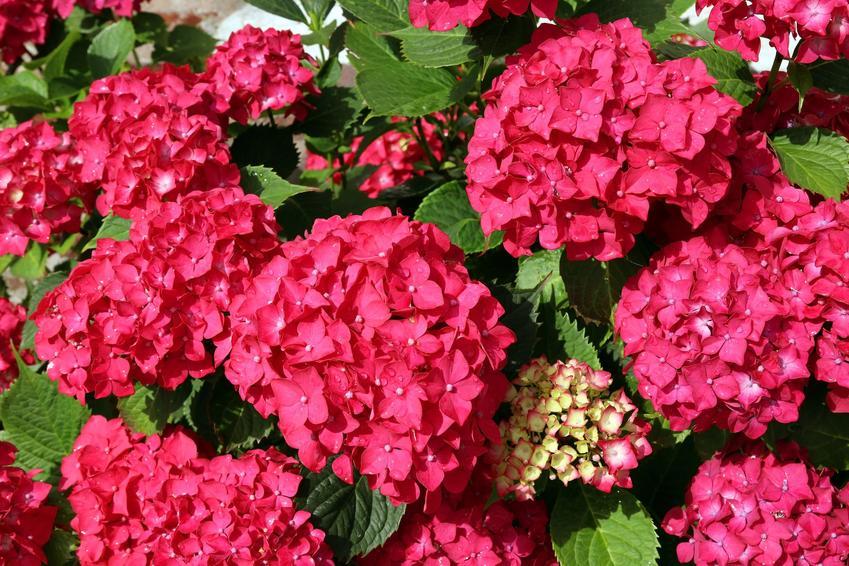 Czerwona hortensja w czasie kwitnienia, a także odmiany hortensji, gatunki hortensji