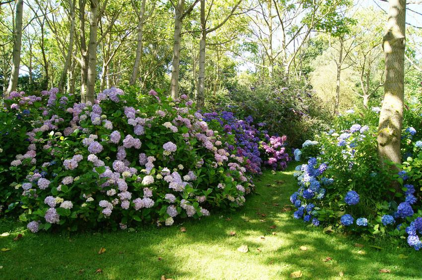 Pięknie kwitnące hortensje w ogrodzie, a także polecane odmiany hortensji, gatunki hortensji