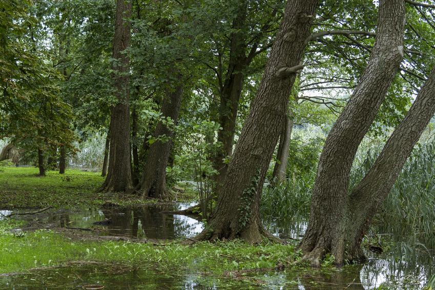 Drzewa z gatunku olsza czarna, Alnus glutinosa Gaertn w parku, a także uprawa i pielęgnacja