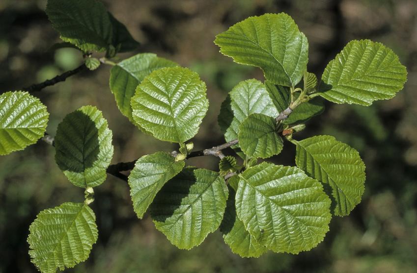 Drzewo liściaste olsza czarna, Alnus glutinosa Gaertn i zbliżenie na liście oraz uprawa