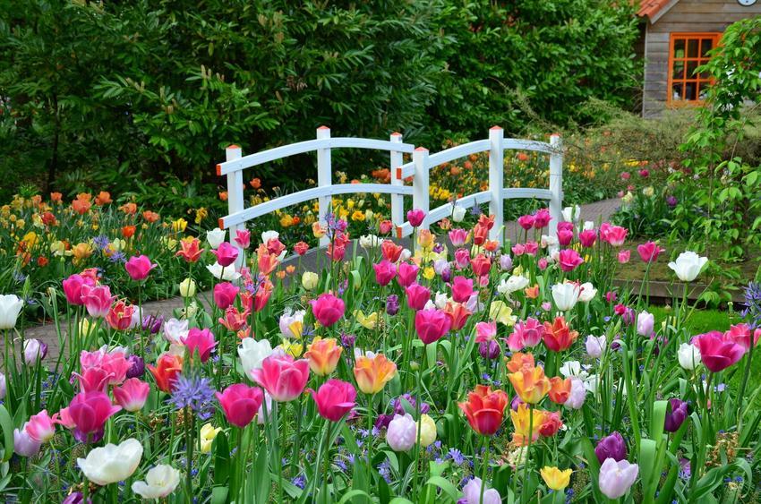 Pięknie kwitnące tulipany w ogrodzie, a także odmiany tulipanów, cebulki tulipanów