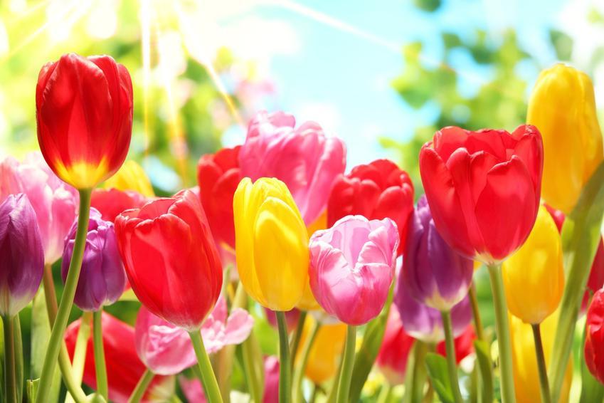 Kwitnące tulipany na tle nieba, a także polecane odmiany tulipanów i jak wybrać cebulki tulipanów
