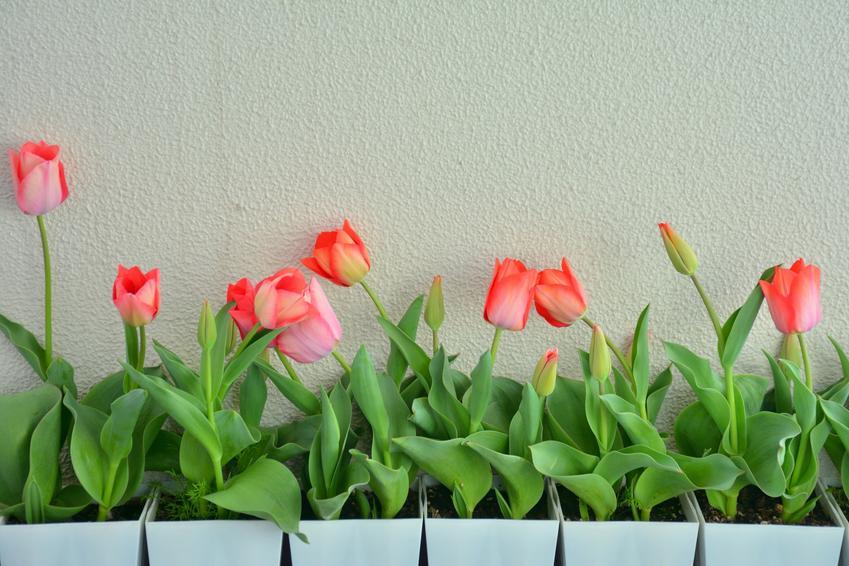 Tulipany w doniczce krok po kroku, czyli uprawa tulipanów w domu, sadzenie tulipanów w doniczkach