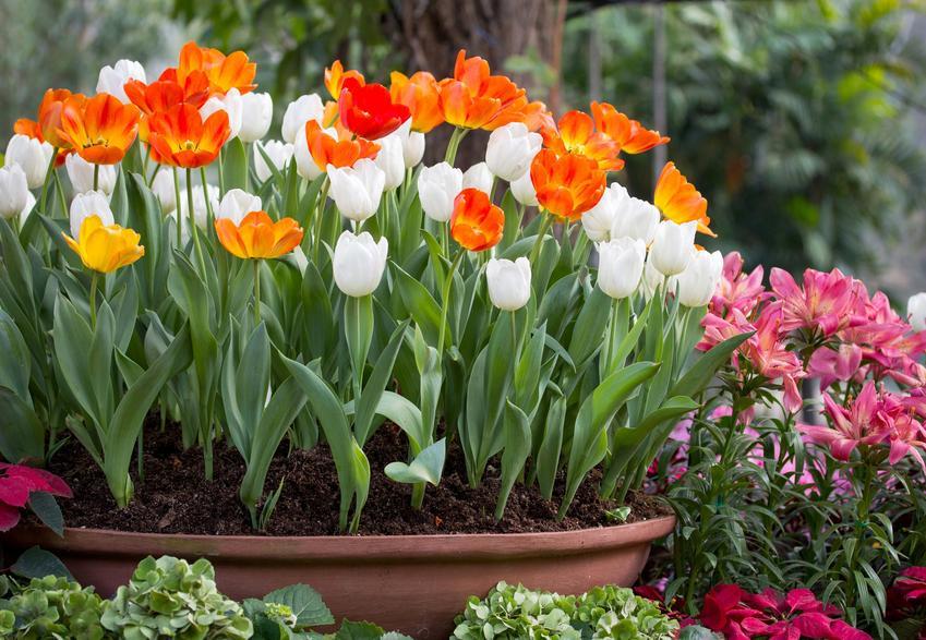 Tulipany kwitnące w doniczce, a także sadzenie tulipanów w doniczkach i uprawa