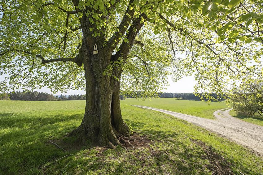 Drzewo lipa szerokolistna na łonie natury, a także jej uprawa i pielęgnacja