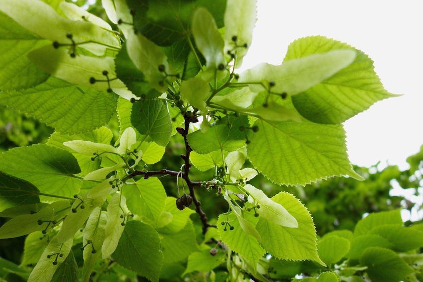 Drzewo lipa szerokolistna i zbliżenie na jej kwiaty, a także uprawa i sadzenie w ogrodzie