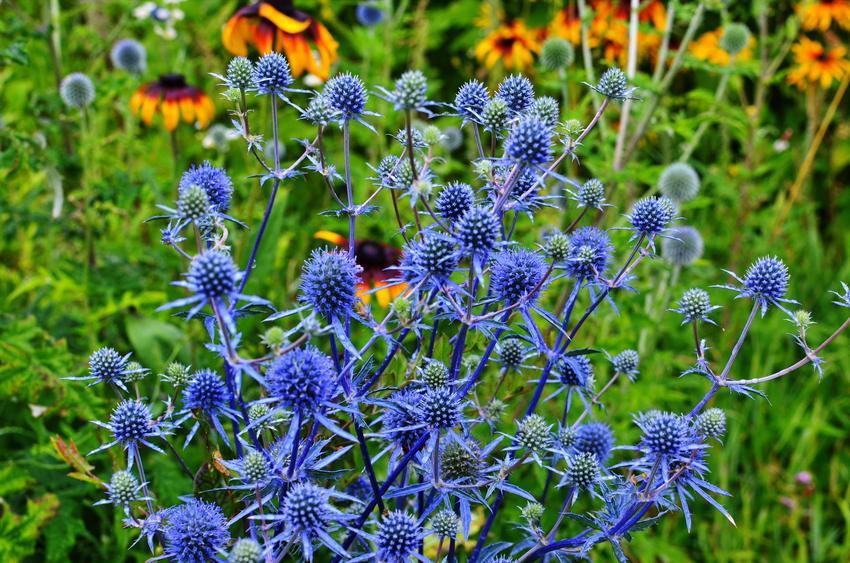 Roślina mikołajek, Eryngium w czasie kwitnienia w ogrodzie, a także uprawa i sadzenie