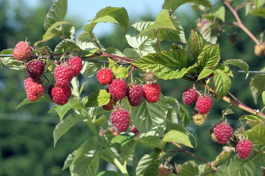Krzew malina właściwa, Rubus idaeus w czasie owocowania, a także uprawa i właściwości