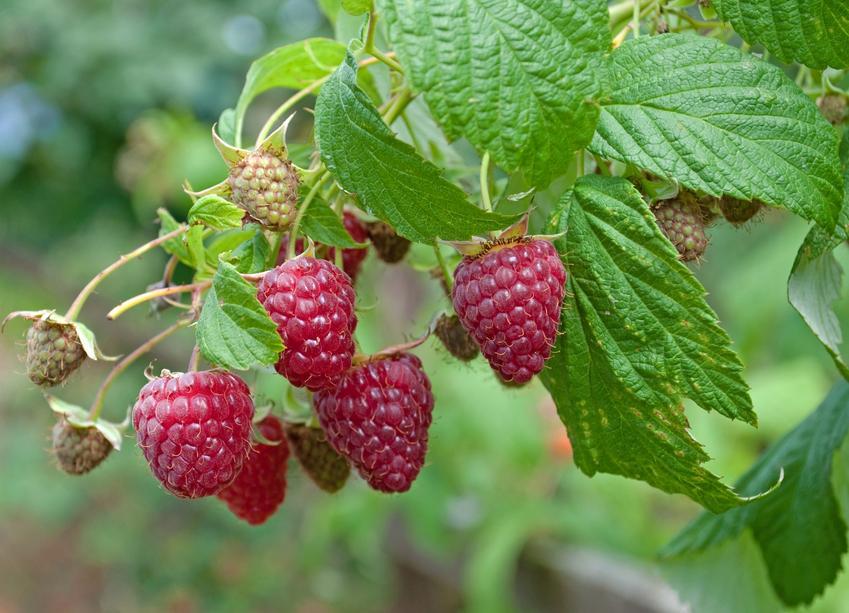 Krzew malina właściwa, Rubus idaeus i zbliżenie na maliny, a także uprawa i właściwości