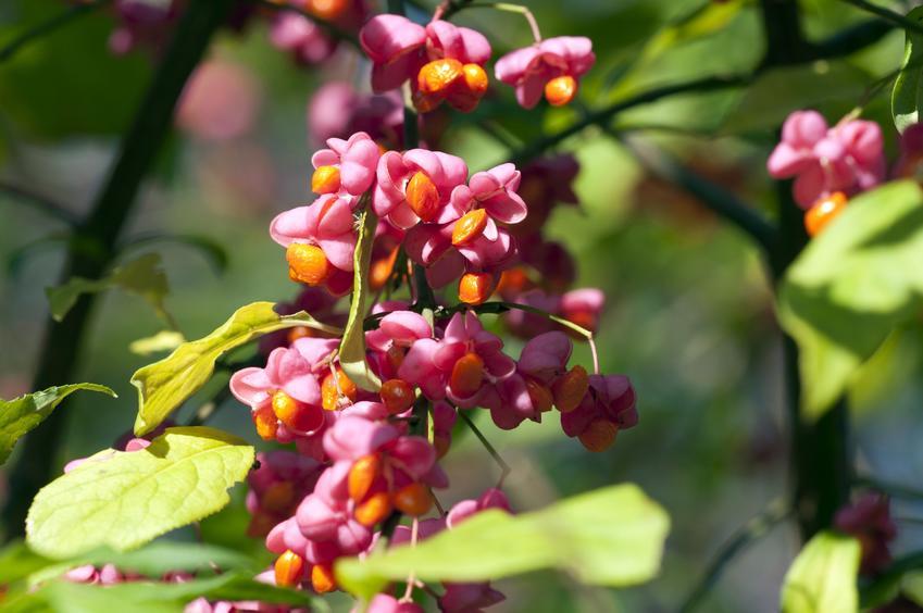 Roślina ewodia aksamitna Tetradium i zbliżenie na jej kwiaty, a także sadzenie i wymagania