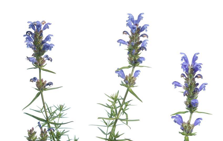 Roślina pszczelnik wąskolistny, Dracocephalum ruyschiana na białym tle, a także sadzenie i wymagania