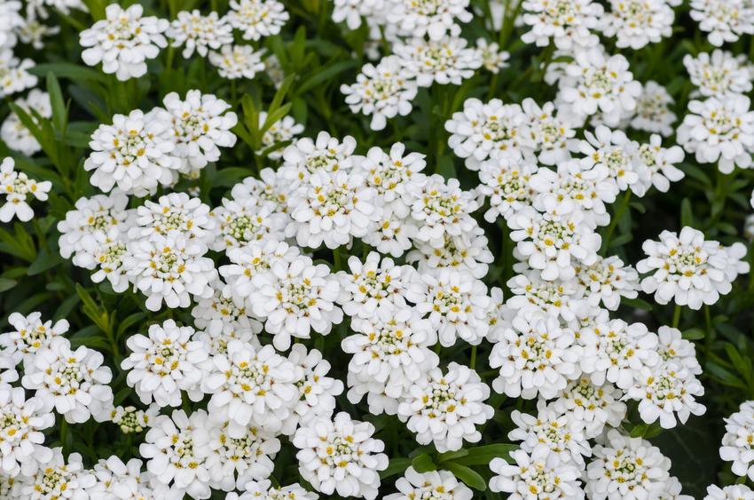 Bylina ubiorek wiecznie zielony, Iberis sempervirens w czasie kwitnienia, a także sadzonki i uprawa