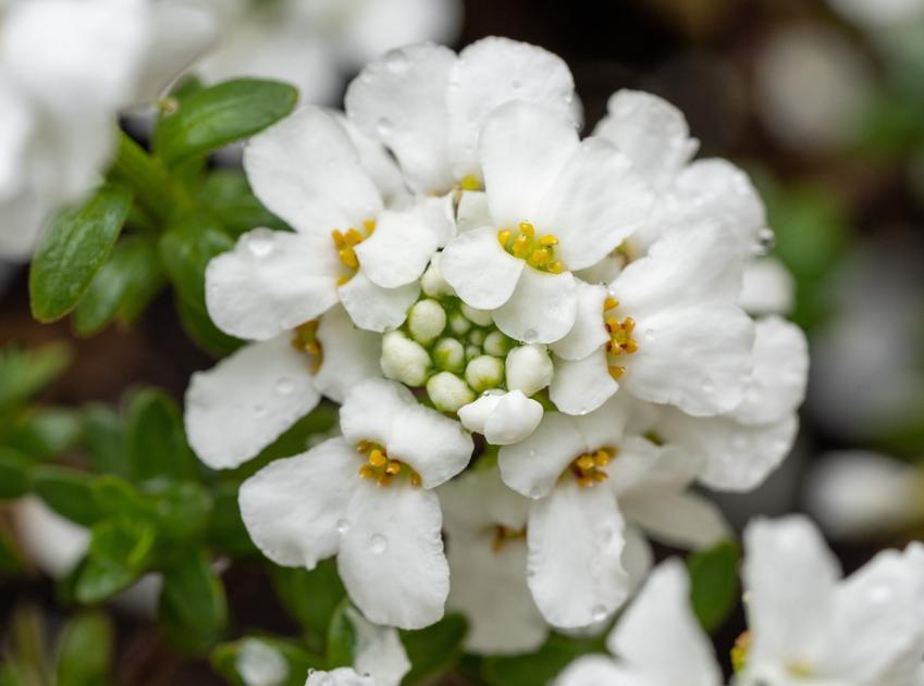 Bylina ubiorek wiecznie zielony, Iberis sempervirens i zbliżenie na kwiat, a także sadzenie, uprawa i pielęgnacja