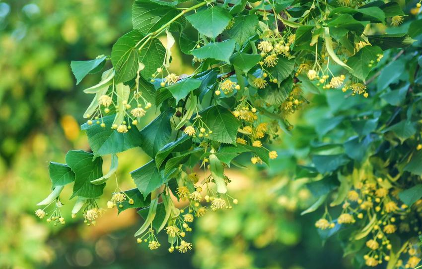 Drzewo lipa drobnolistna i zbliżenie na jej kwiaty, a także uprawa i sadzenie w ogrodzie